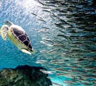 cardume de sardinhas tartaruga oceanos