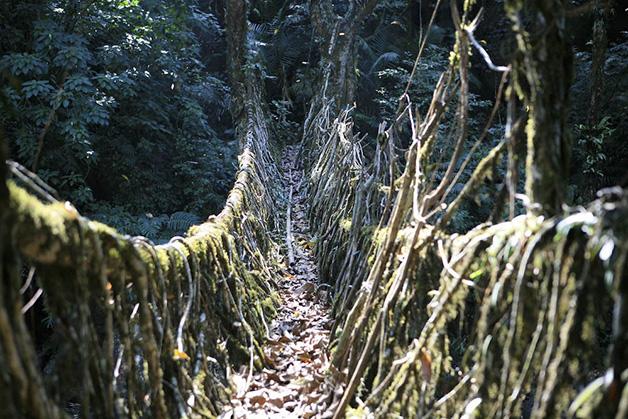 Meghalaya, na Índia, é uma das regiões mais húmidas do mundo, onde ocorrem chuvas torrenciais frequentemente, transformando os rios calmos em fortes torrentes. Por esta razão, os habitantes decidiram que em vez de construir pontes, iriam cultivá-las, criando pontes vivas.