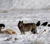 corvos ajudam lobos