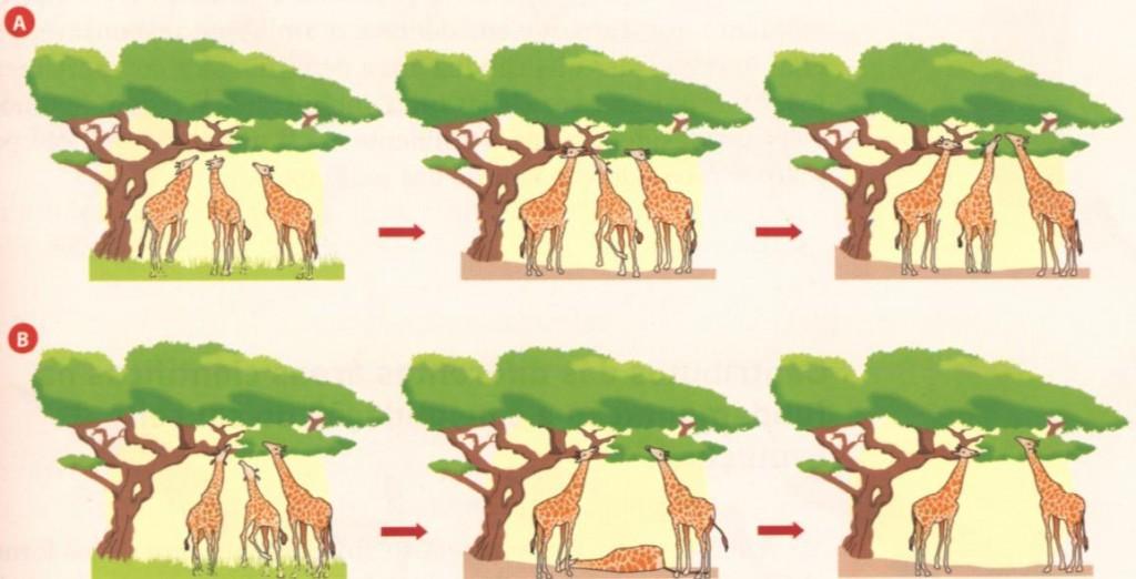 evolução do pescoço das girafas