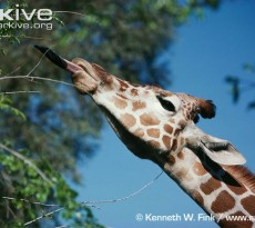 girafa alimentação pescoço