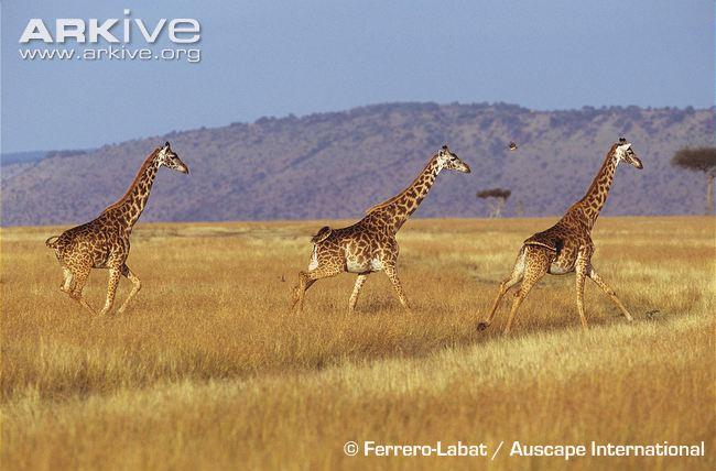 girafas pescoço comprido
