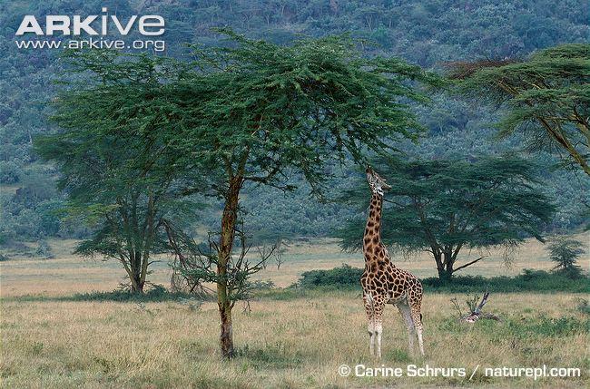 girafas pescoço grande árvore