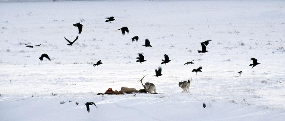 lobos corvos caçada