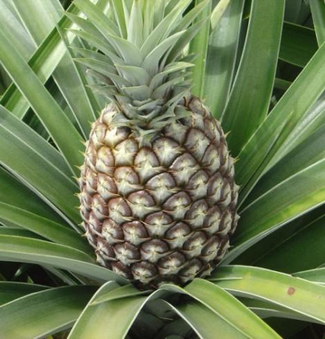 A Ananas Anam desenvolveu um inovador cabedal ecológico que é natural e sustentável, chama-se Piñatex. O Piñatex é produzido a partir das fibras de folhas de abacaxi, que são deitadas no lixo às toneladas depois da colheita da fruta.