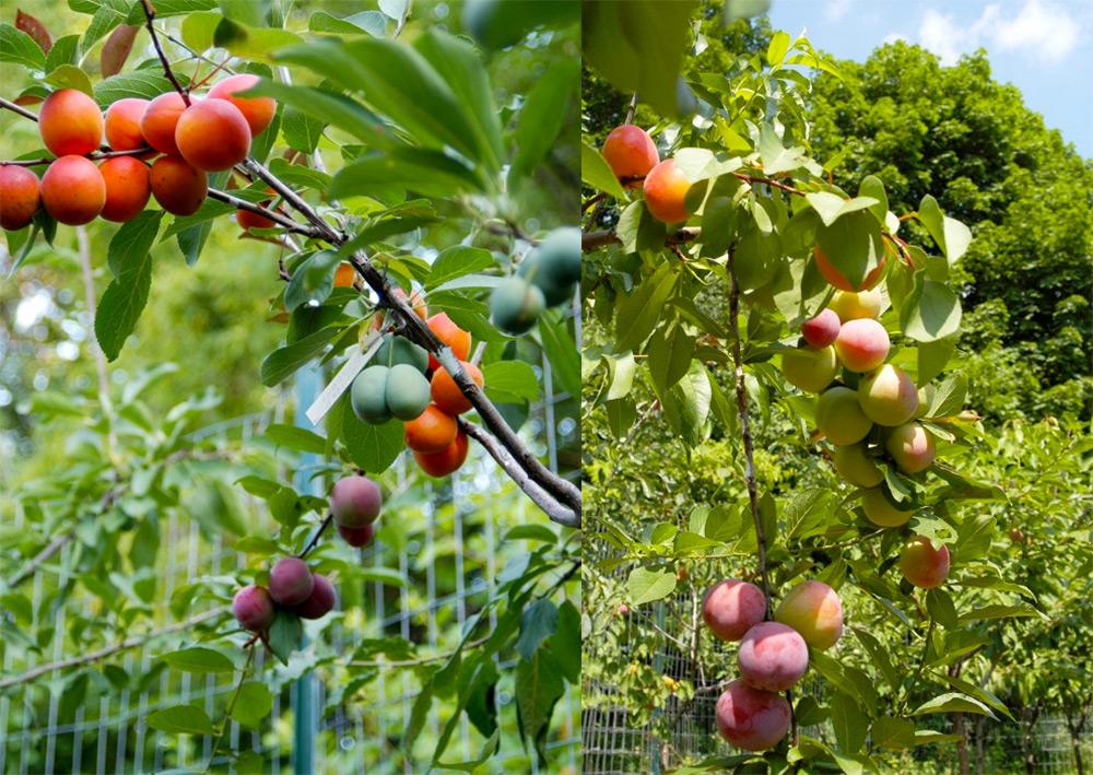 árvore de fruto Tree of 40 Fruit