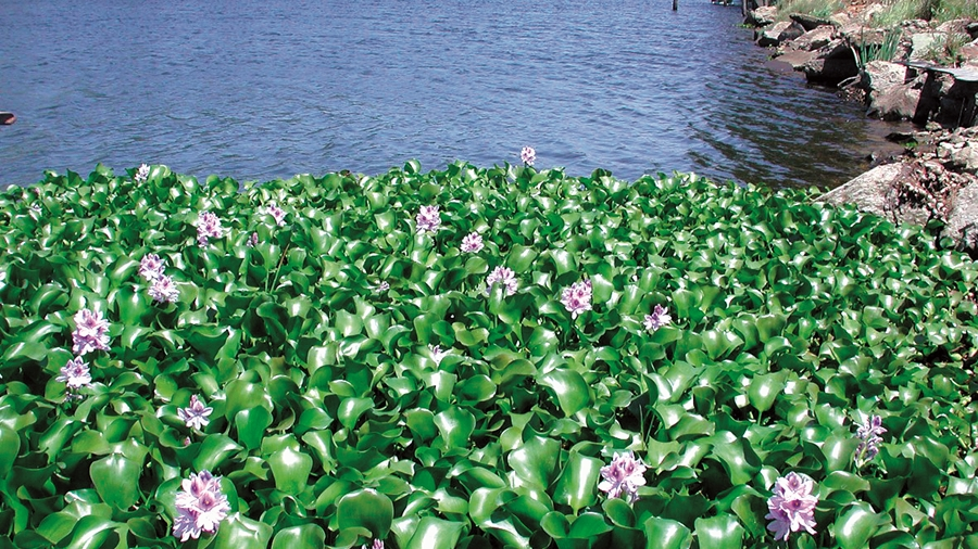Eichhornia-crassipessmall-plantas invasoras