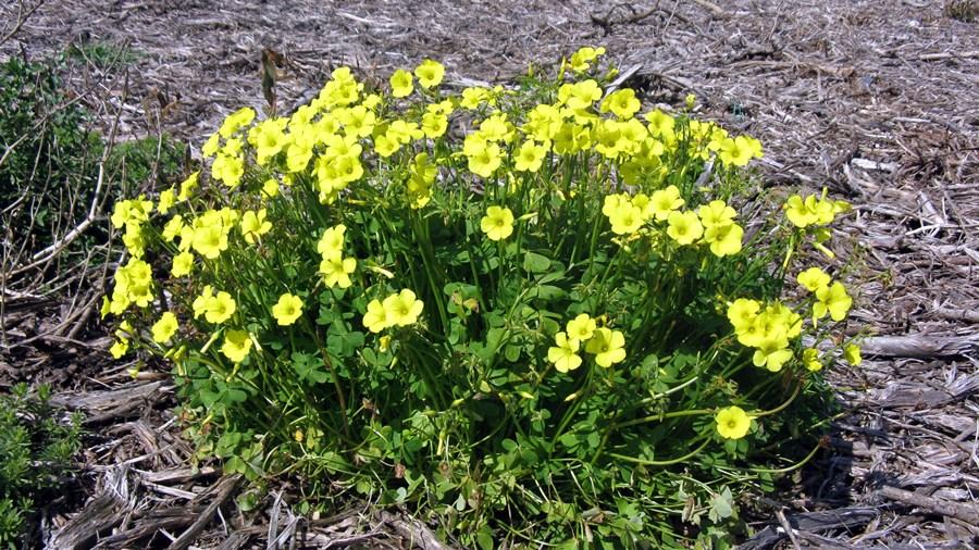 Oxalis-pes-caprae-plantas invasoras