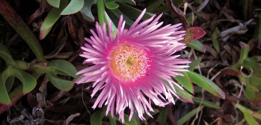 carpobrotus-edulis plantas invasoras