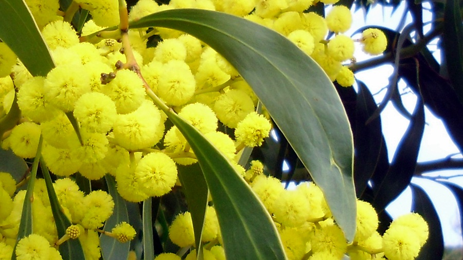 pycnantha-plantas invasoras