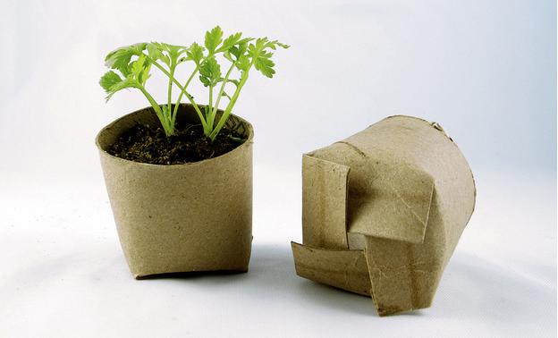 vasos germinar rolos de papel higiénico
