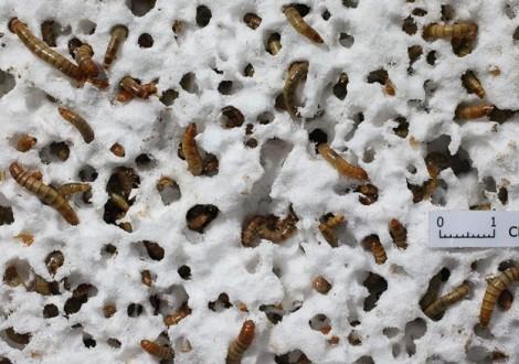 Larvas plástico esferovite adubo