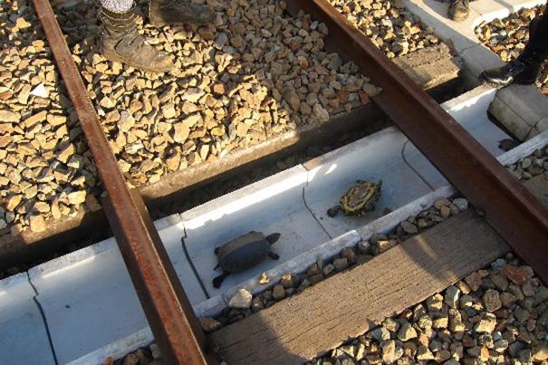 Tartarugas comboios japão