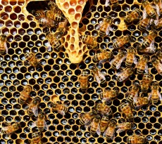 mel abelhas colmeia