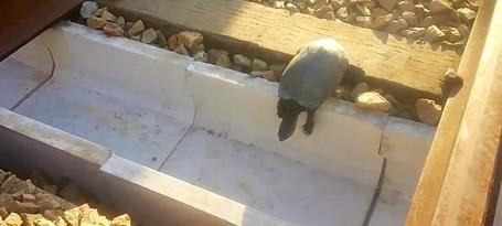 tartarugas caminhos de ferro