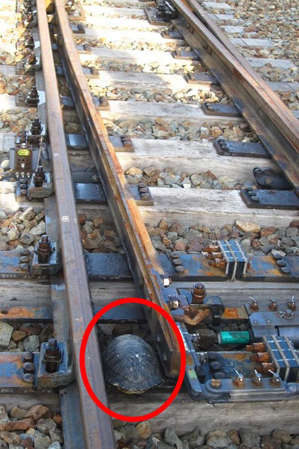 tunel para tartarugas comboios