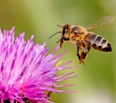abelhas polinização alimentos